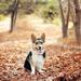 een-hond-zit-tussen-de-herfstbladeren-hd-honden-wallpaper