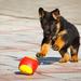 foto-jonge-duitse-herder-aan-het-spelen-met-een-bal-hd-honden-wal