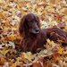 foto-van-een-bruine-hond-tussen-de-herfstbladeren-hd-herfst-wallp