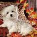 foto-van-een-maltezer-tussen-de-herfstbladeren-hd-herfst-wallpape