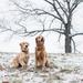 foto-van-twee-honden-buiten-in-de-kou-tijdens-de-winter-hd-winter