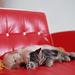 hd-achtergrond-met-een-hond-en-kat-die-naast-elkaar-liggen-te-sla