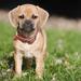 hd-achtergrond-met-een-mooi-lief-schattig-bruin-hondje-hd-wallpap