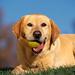hd-honden-achtergrond-met-een-bruine-hond-met-bal-in-zijn-bek-hd-