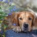 hd-honden-achtergrond-met-een-hond-rots-en-bloemen-hond-wallpaper