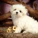 hd-honden-achtergrond-met-een-lief-schattig-maltezer-leeuwtje-wal