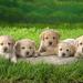 hd-honden-achtergrond-met-vijf-schattige-hondjes-op-het-gras-hd-h