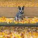 herfst-achtergrond-met-een-hond-op-een-bankje-in-het-park-met-vee