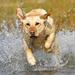 honden-wallpaper-met-een-hond-die-rent-door-het-water
