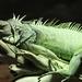 iguana-2167631_960_720