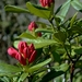 rhododendron-2203365_960_720
