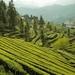 tea-garden-2221932_960_720