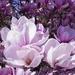 magnolia-2215761_960_720