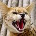 African_cat