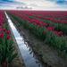 een-veld-vol-roze-tulpen-hd-bloemen-wallpaper