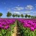 foto-veld-vol-hollandse-tulpen-achtergrond-lente-wallpaper