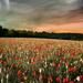 hd-bloemen-achtergrond-met-een-veld-vol-rode-en-witte-bloemen-wal