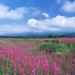 hd-bloemen-wallpaper-met-een-veld-vol-roze-bloemen-achtergrond-fo