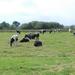 hd-zwart-witte-friese-koeien-achtergrond-hd-friese-koeien-wallpap