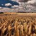 mooie-zomerse-achtergrond-met-een-veld-vol-tarwe-en-wolken-in-de-