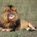 Monkey_Lion