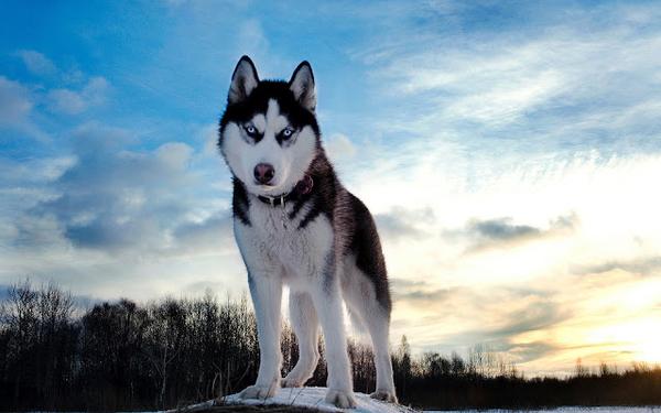 dieren-wolf-wallpaper-hd-wolven-achtergrond-foto
