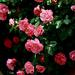 hd-rozen-wallpaper-met-een-grote-struik-vol-met-roze-rozen-achter