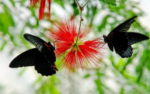 hd-vlinders-wallpaper-met-twee-zwart-blauwe-vlinders-op-een-rode-