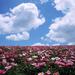 hd-bloemen-wallpaper-met-een-veld-vol-roze-en-witte-bloemen-achte