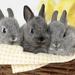 hd-konijnen-wallpaper-met-drie-grijze-konijnen-in-een-mand-hd-kon
