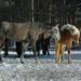 hd-paarden-wallpaper-met-paarden-in-de-sneeuw-hd-paarden-achtergr