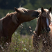 hd-paarden-wallpaper-met-twee-bruine-paarden-hd-paard-achtergrond