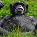 hd-apen-achtergrond-met-een-aap-aan-het-relaxen-hd-aap-wallpaper