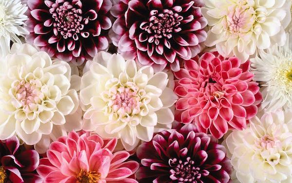 bloemen-wallpaper-roze-en-witte-bloemen-hd-achtergrond
