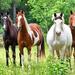 hd-paarden-wallpaper-met-vier-paarden-in-het-weiland-hd-paarden-a