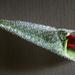 hd-rozen-achtergrond-een-ingepakte-rode-roos-liggend-op-een-roost