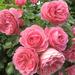 hd-rozen-wallpaper-met-een-grote-struik-roze-rozen-hd-achtergrond