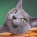 groene-achtergrond-met-een-lieve-grijze-kat-in-zijn-mand-hd-wallp