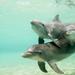 hd-dolfijn-achtergrond-drie-dolfijnen-zwemmen-in-de-zee-hd-wallpa