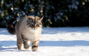 hd-kat-achtergrond-een-kat-in-de-sneeuw-kat-wallpaper