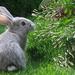 huisdieren-hd-achtergrond-een-grijs-konijn-op-het-gras-hd-wallpap