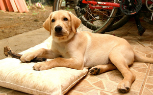 huisdieren-hd-achtergrond-met-een-bruine-hond-lekker-aan-het-rust