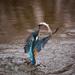 kingfisher-1068480_960_720