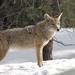 coyote-1901990_960_720