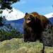 hd-beren-achtergrond-met-een-gevaarlijke-bruine-beer-wallpaper-fo