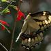 hd-leuke-achtergrond-met-een-gele-vlinder-op-een-rode-bloem-hd-vl