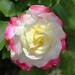 nahaufnahme-foto-weissen-blume-mit-rosa-rand-hd-blumen-hintergrun