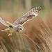 schönen-nahaufnahme-foto-von-einem-fliegenden-eule-hd-tiere-hi