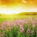 foto-landschaft-mit-einem-feld-voller-blumen-und-sonnenuntergang-