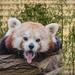 panda-3158671_960_720